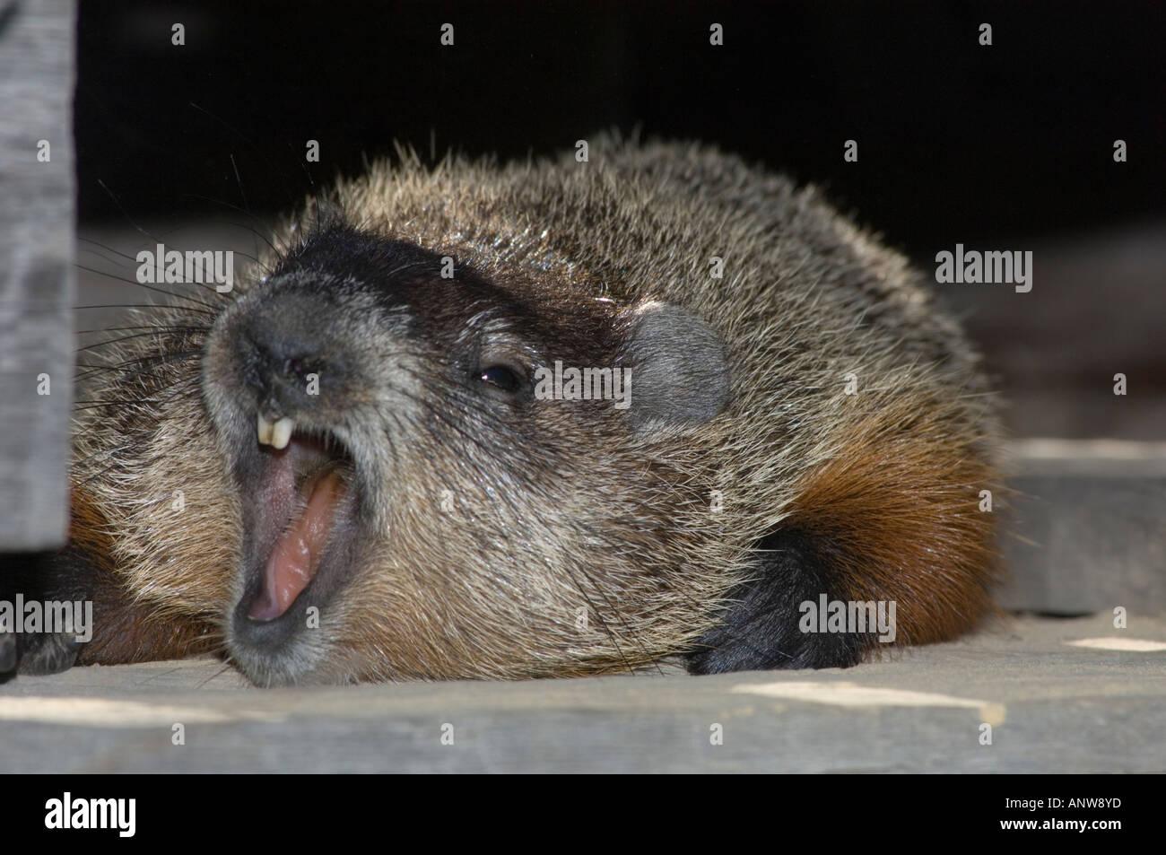 Groundhog Marmota monax Loafing in woodpile near garden Ontario - Stock Image