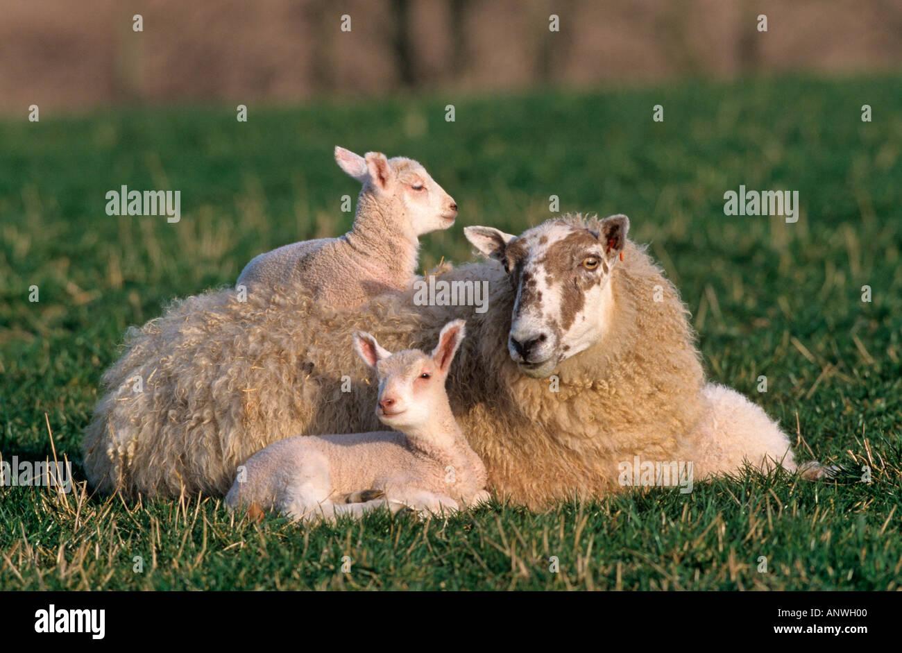 Ewe with Triplet Lambs Stock Photo: 5094655 - Alamy