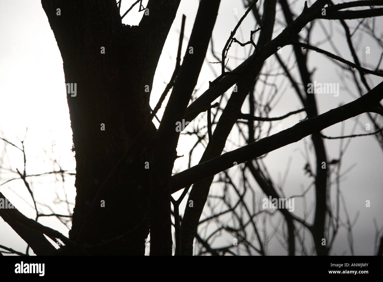 silhouette of deciduous tree with no leaves midwinter - Stock Image