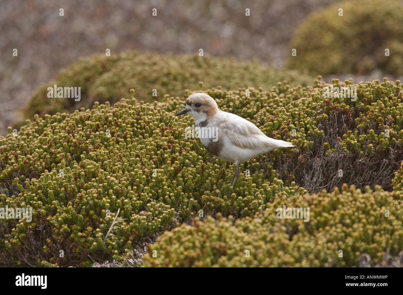 Two banded Plover (Charadrius falklandicus) adult with reduced pigmentation (leucism) in diddle dee (Empetrum rubrum) - Stock Image
