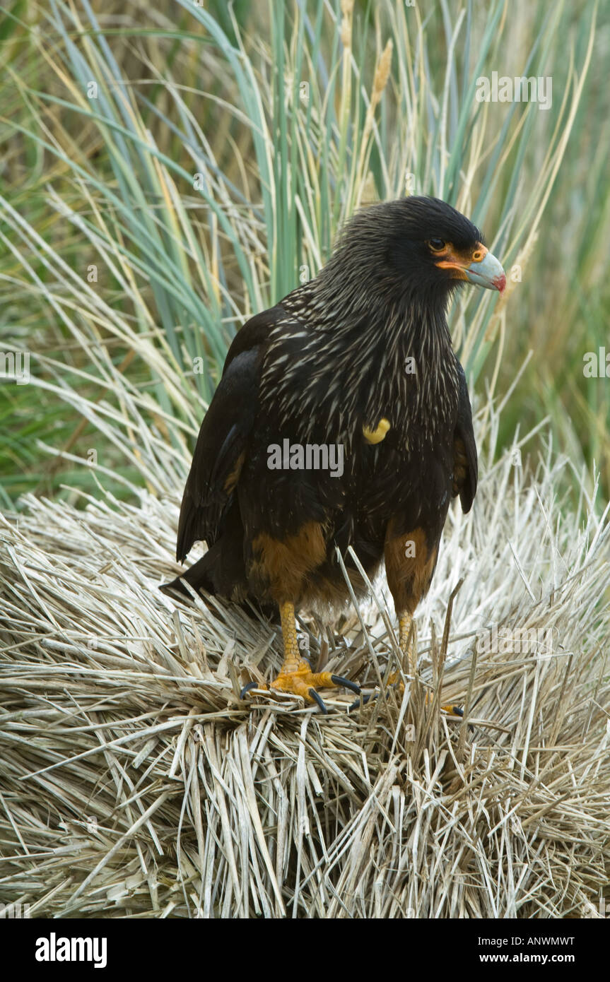 Striated Caracara (Phalcoboenus australis) adult with fresh blood on his beak perched on tussock grass Sea Lion Stock Photo