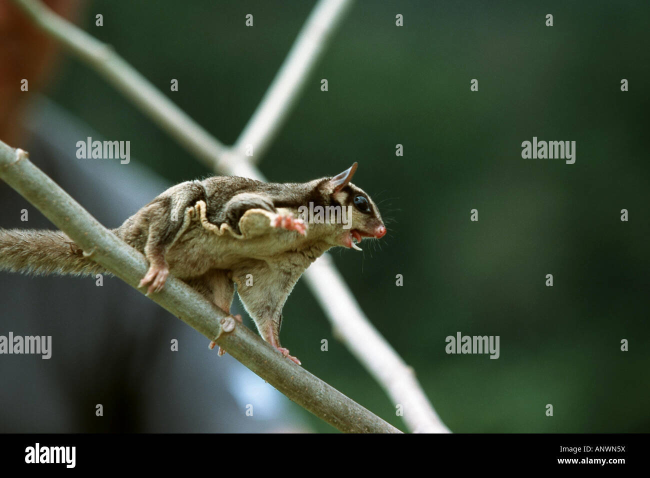 flying squirrel (Petaurus brecipes papuanus), sitting on a branch, Indonesia, Neuguinea, Irian Jaya - Stock Image