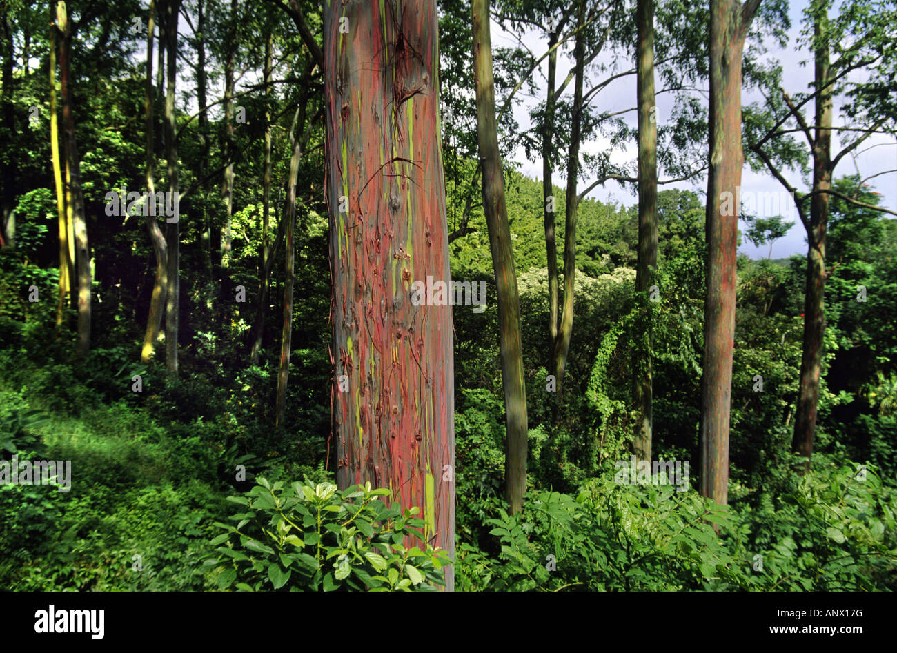 rainbow eucalyptus, Painted eucalyptus (Eucalyptus deglupta), The green and red bark is one of natures incredible - Stock Image