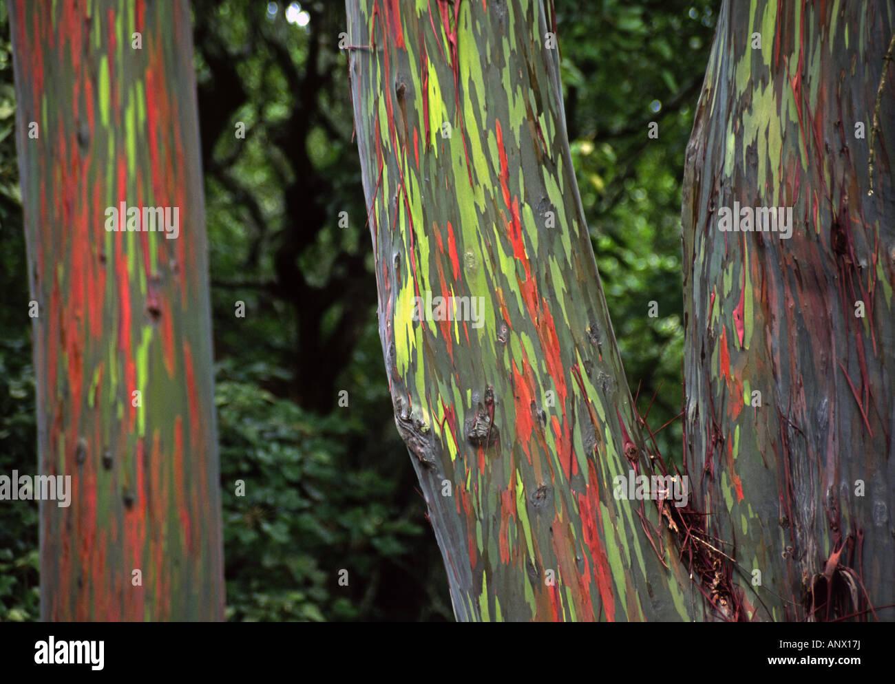 rainbow eucalyptus, Painted eucalyptus (Eucalyptus deglupta), The green and red bark is one of natures incredible - Stock Image