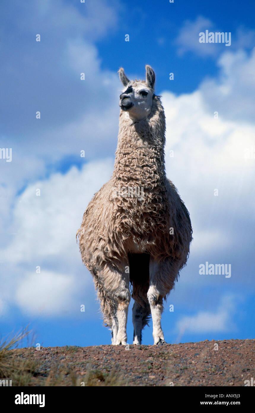 portrait of lama andean highland altiplano bolivia - Stock Image