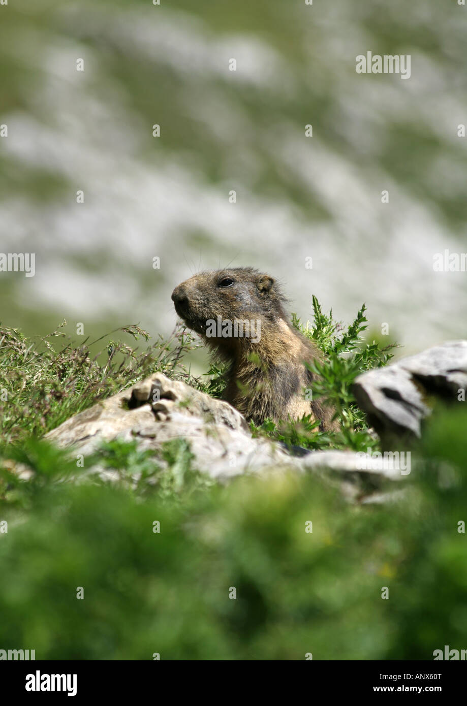 alpin marmot in Arosa Switzerland - Stock Image