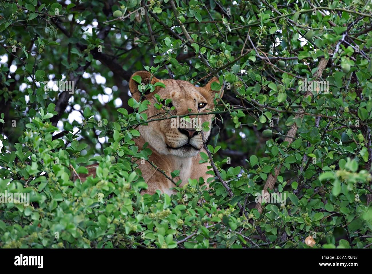 Africa, Tanzania, Lake Manyara National Park, Tree-climbing lion (Panthera leo) - Stock Image