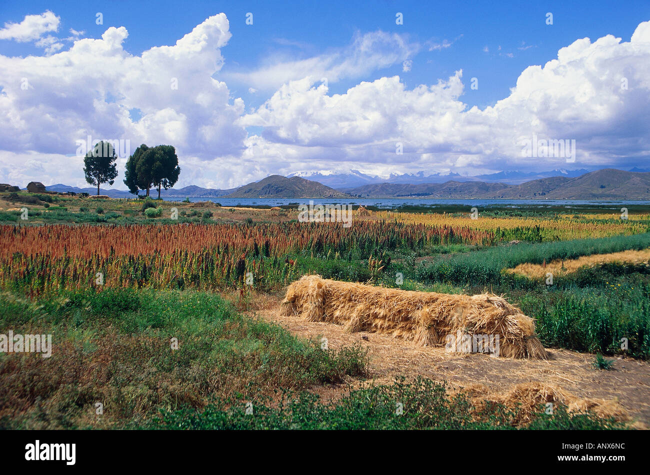 quinoa fields and agricultural crops lake titicaca border area of peru and bolivia - Stock Image