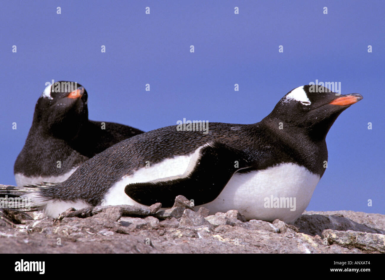 Antarctica, Antarctic Peninsula, Peterman Island. Gentoo Penguins (Pygoscelis papua) Stock Photo