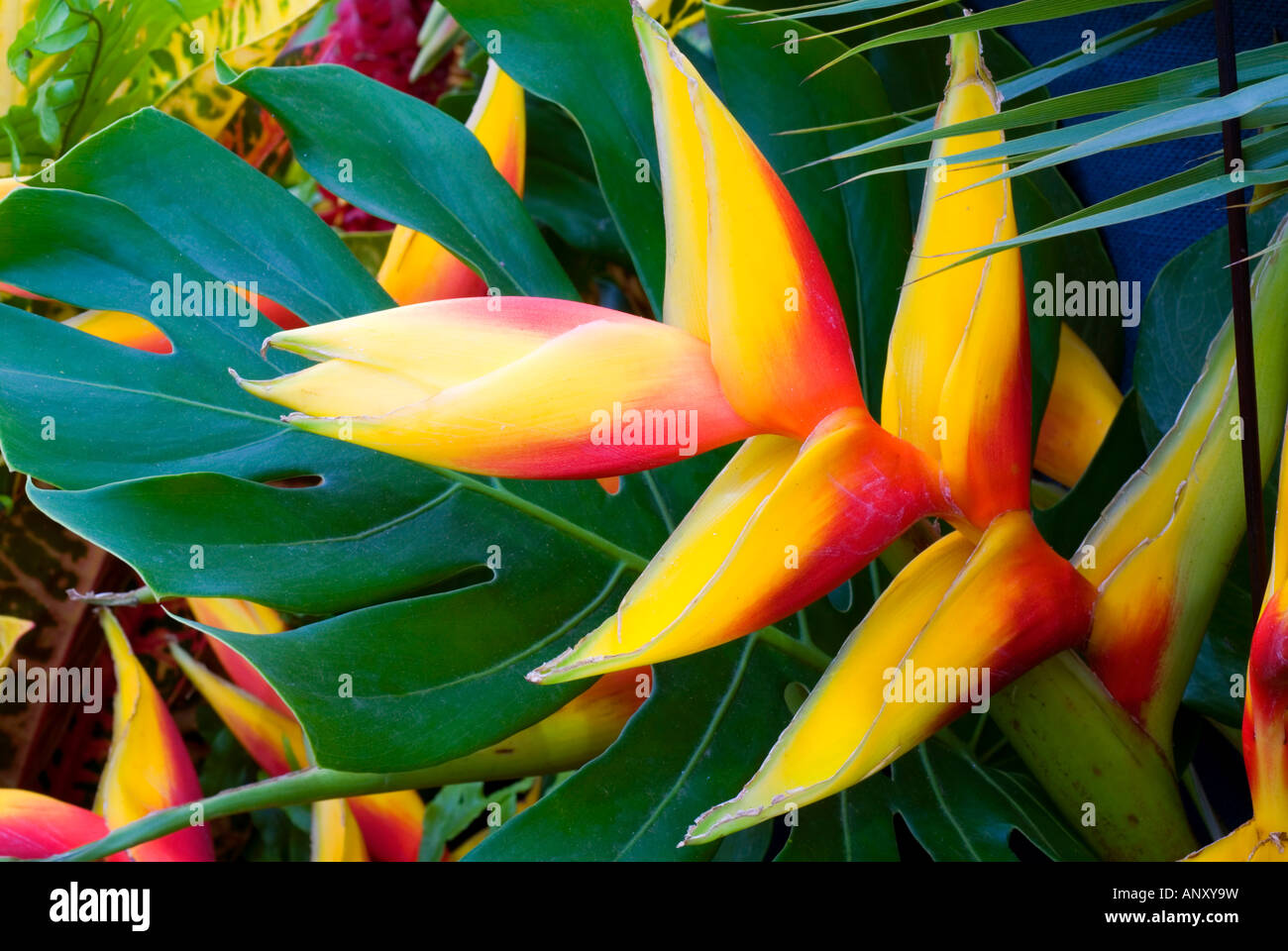 Heliconia Natural Hybrid In Grenada Exotic Tropical Flowers With