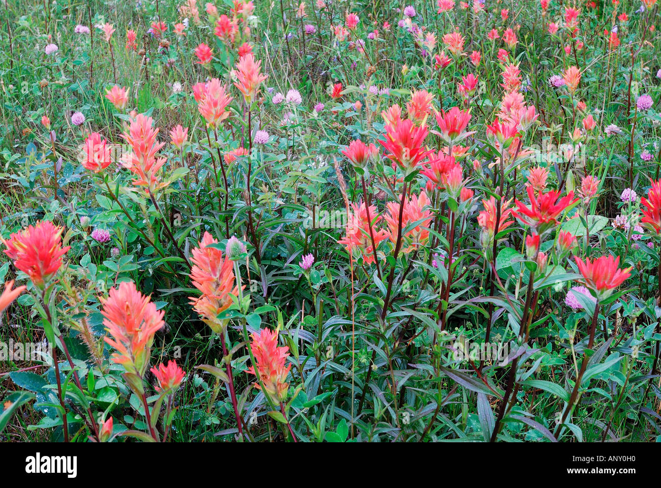 Indian Paintbrush growing in a field - Stock Image