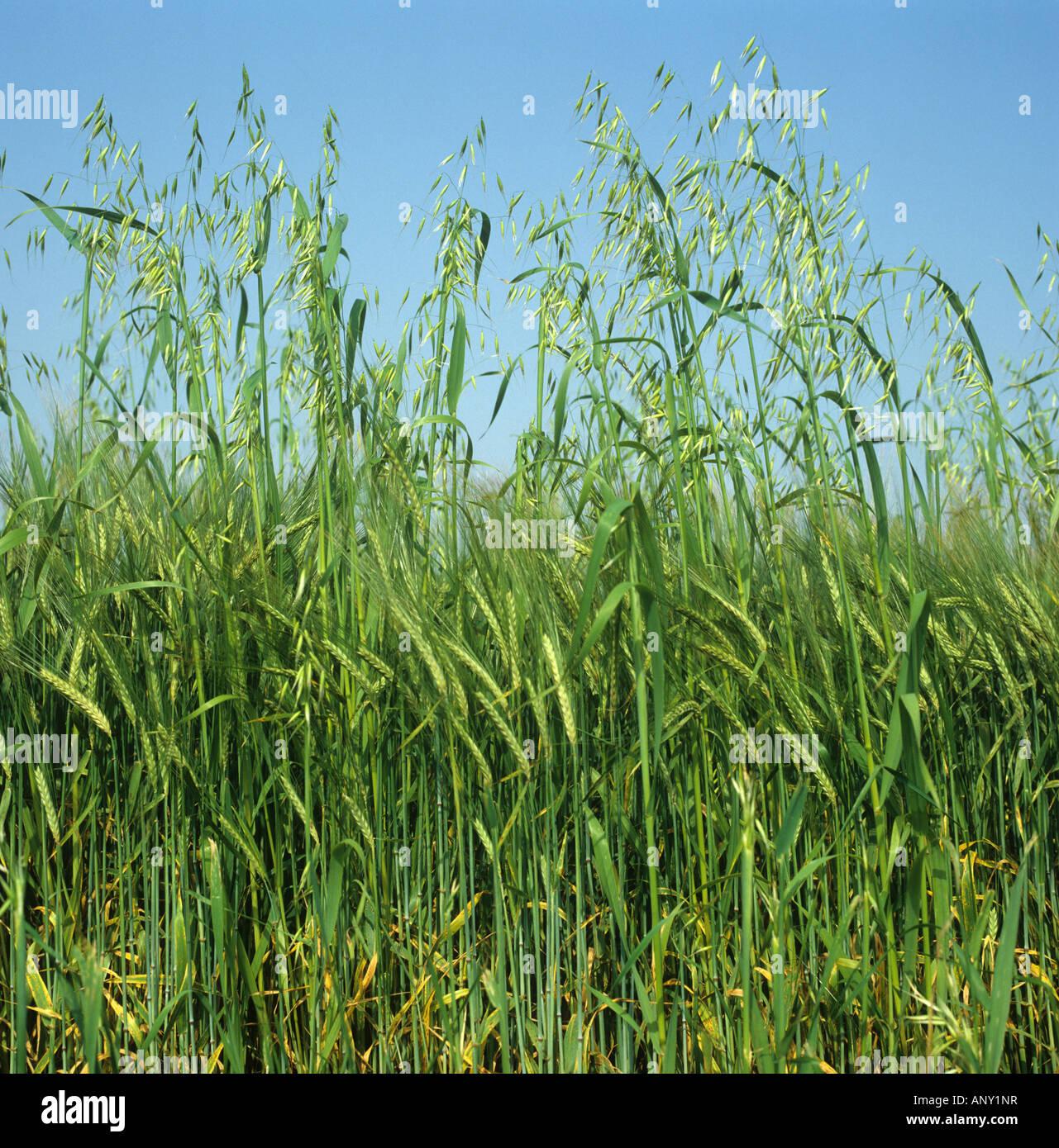 Wild oats Avena fatua annual arable grass weed flower spikes in barley crop in green ear Stock Photo