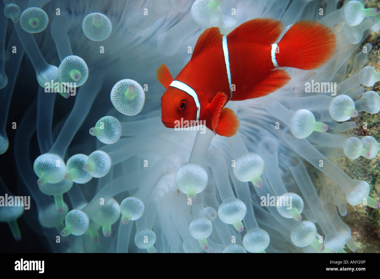 Spine cheek anemonefish Premnas biaculeatus - Stock Image