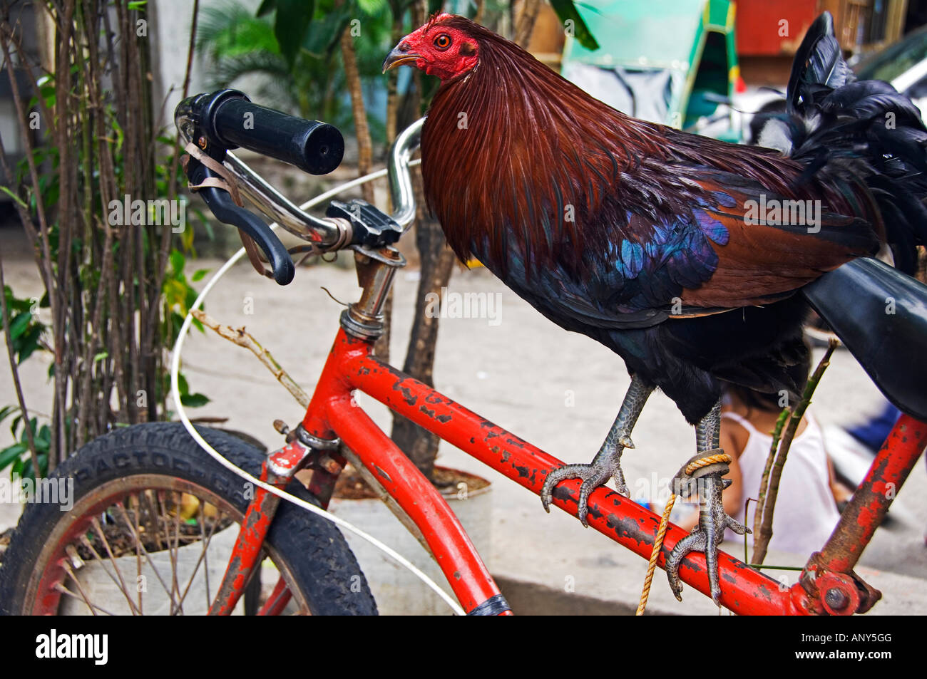 Philippines, Luzon, Manila. Rooster standing on bicycle frame Stock ...