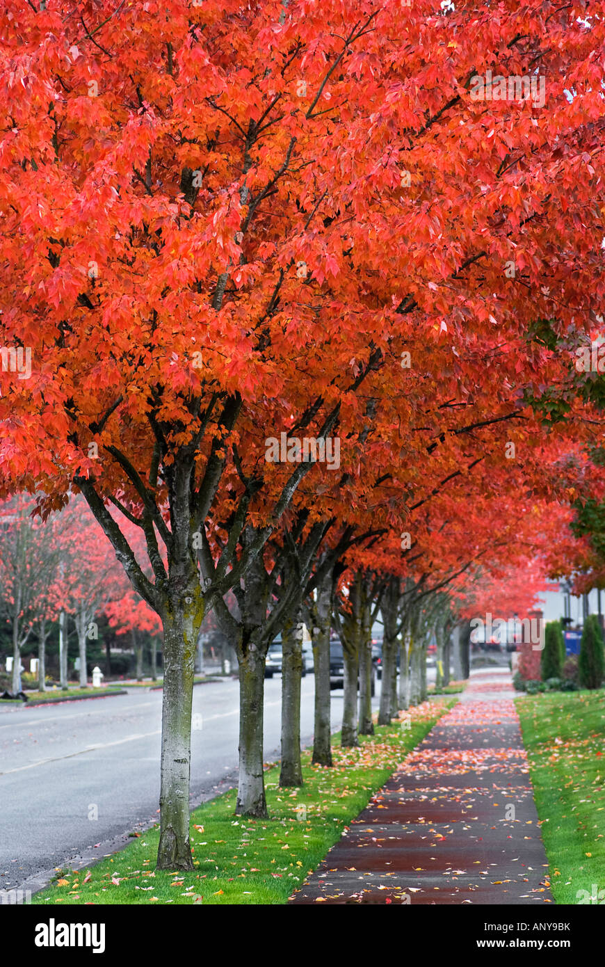 street lined with fall colored trees Issaquah Washington - Stock Image