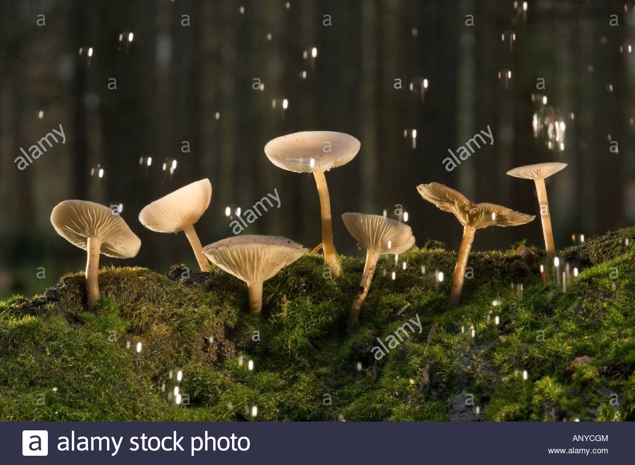 Fairy Bonnet toadstools Coprinus Disseminatus weathering a storm in a Norfolk churchyard - Stock Image