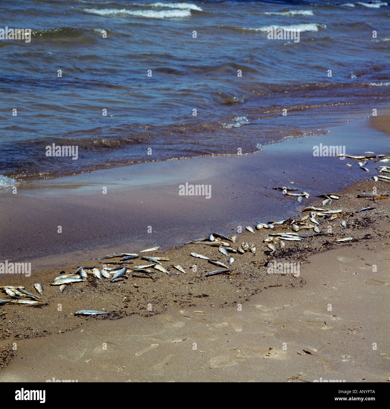 dead fishes at beach - Stock Image