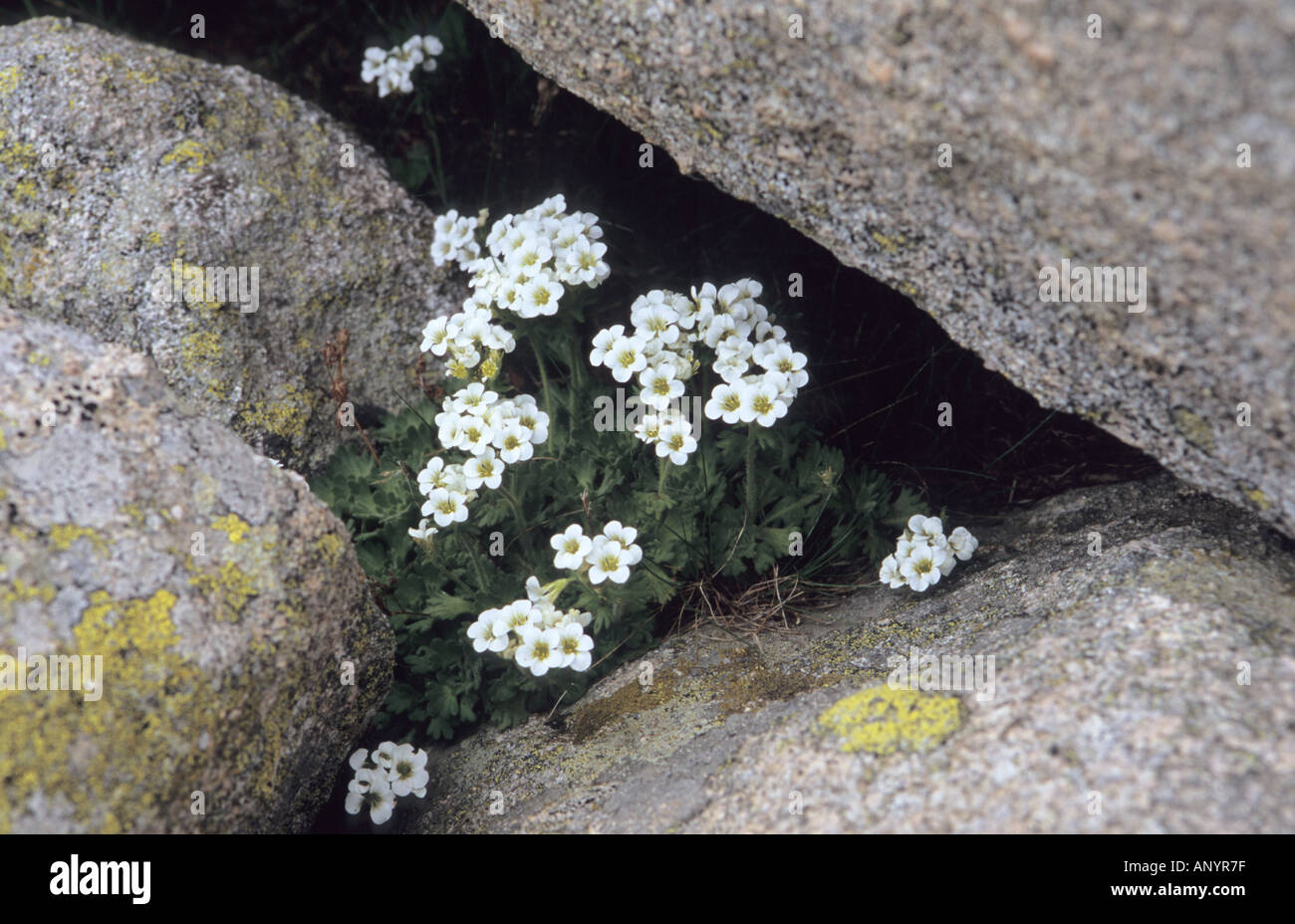 Close-up of White Saxifrage Saxifraga flowers in Pirin National Park Bulgaria Stock Photo
