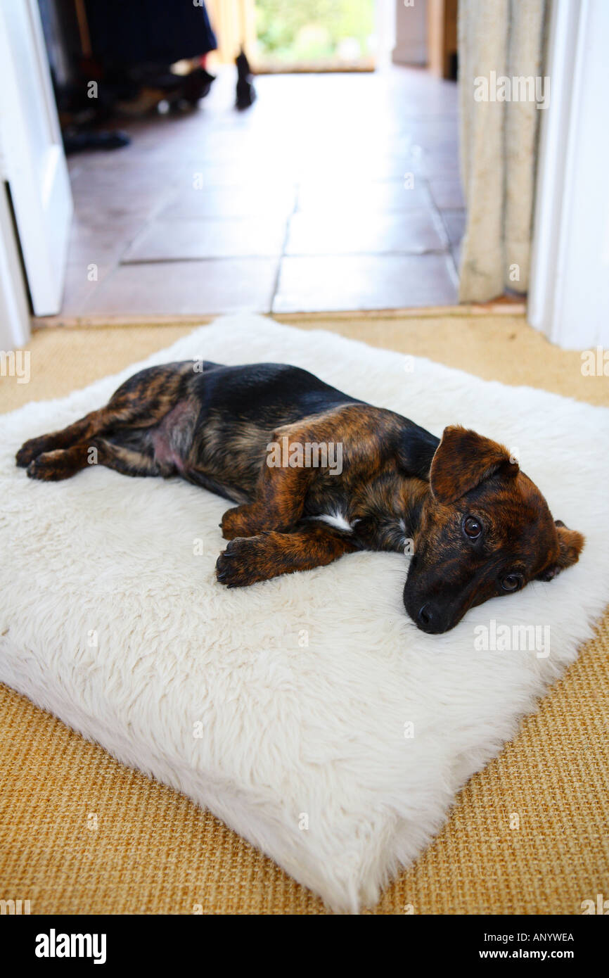 Black and tan Jack Russell terrier pedigree puppy sleeping in his bed England United Kingdom - Stock Image