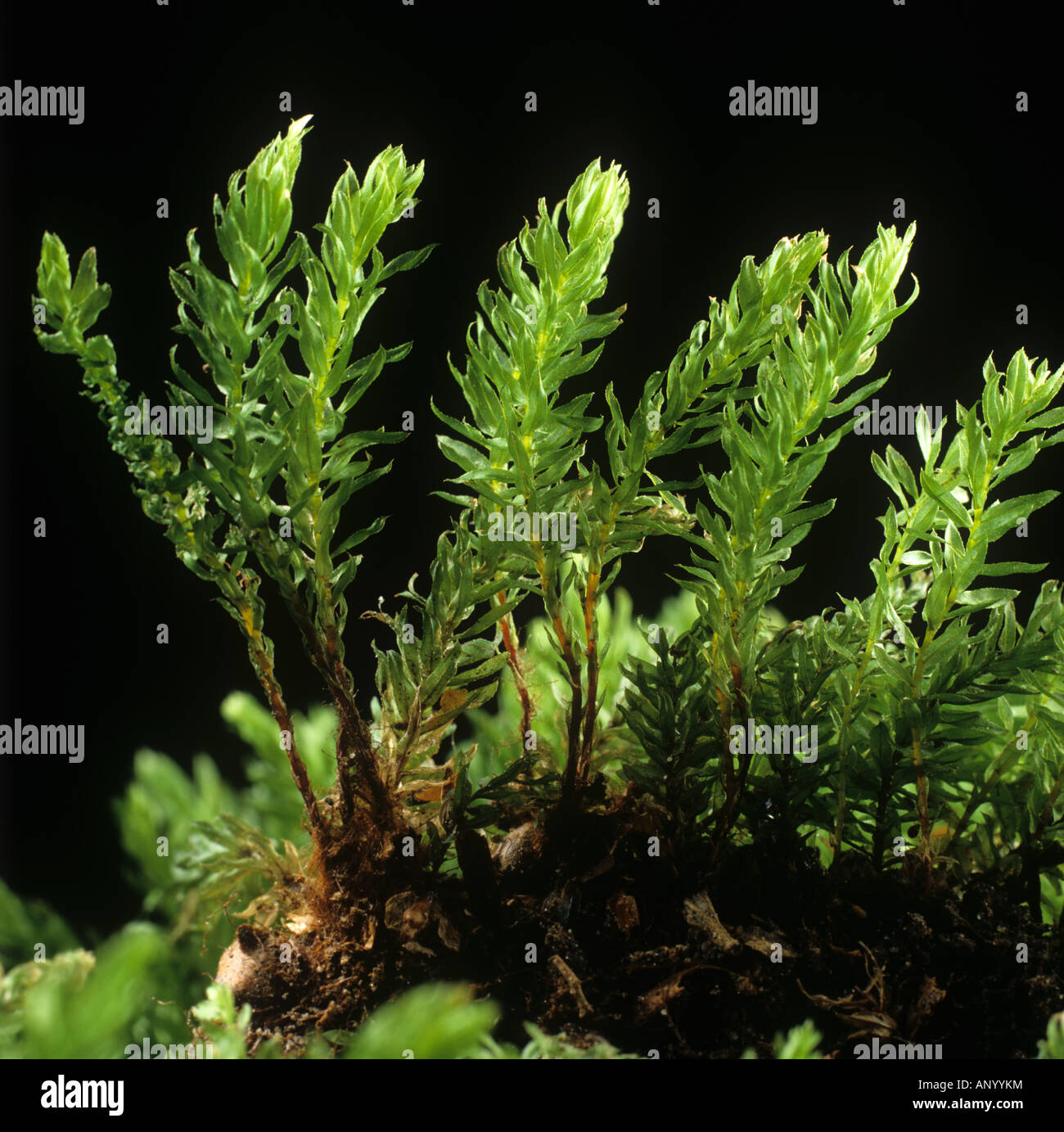 Leaves and foliage of a moss Bryum capillare - Stock Image