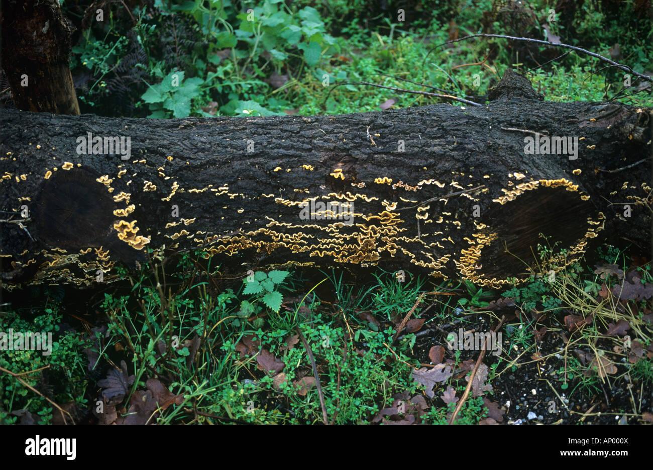 Saprophytic fungus Stereum hirsutum fruiting bodies on dead tree trunk - Stock Image
