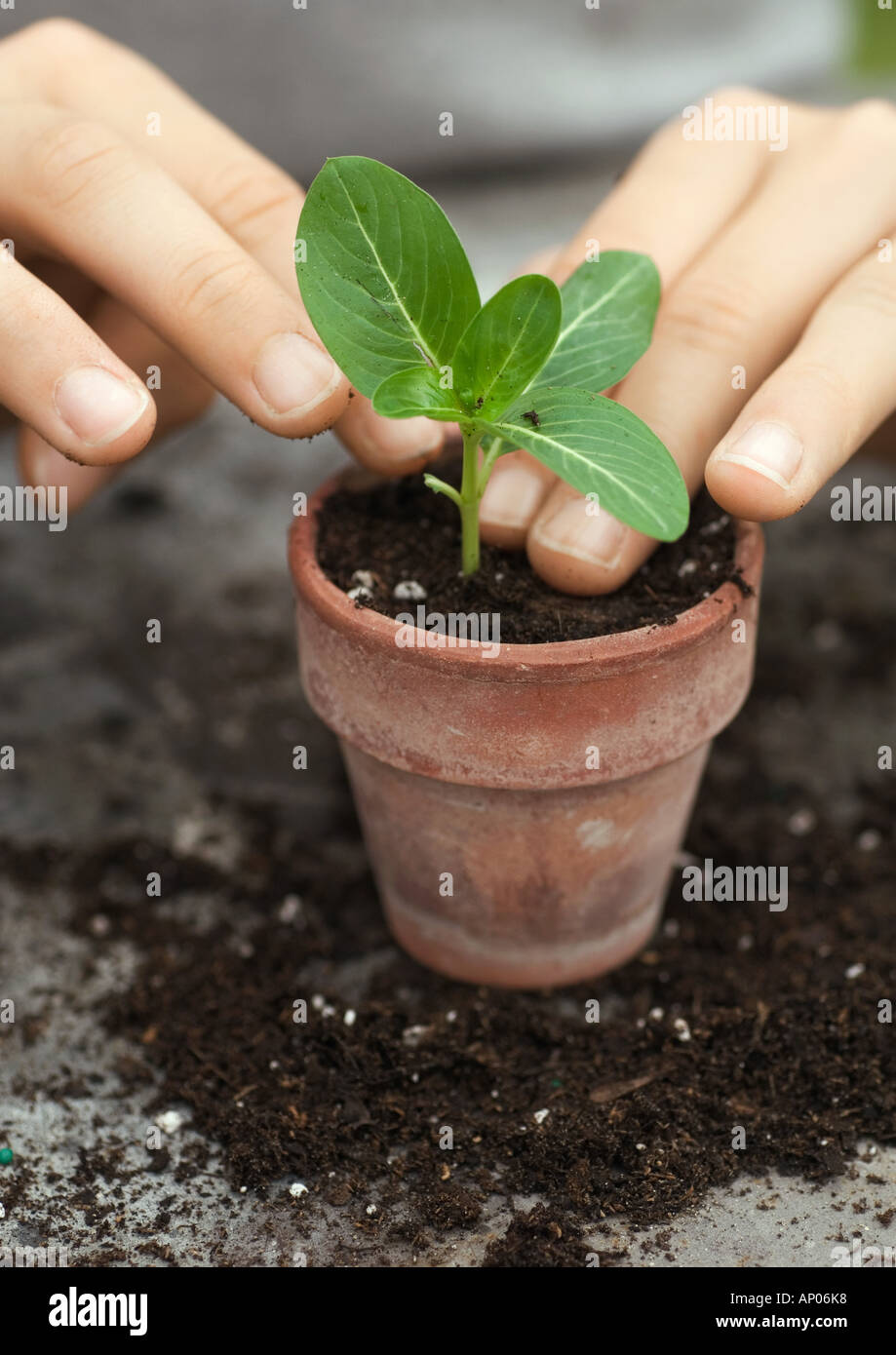 Potting small plant - Stock Image