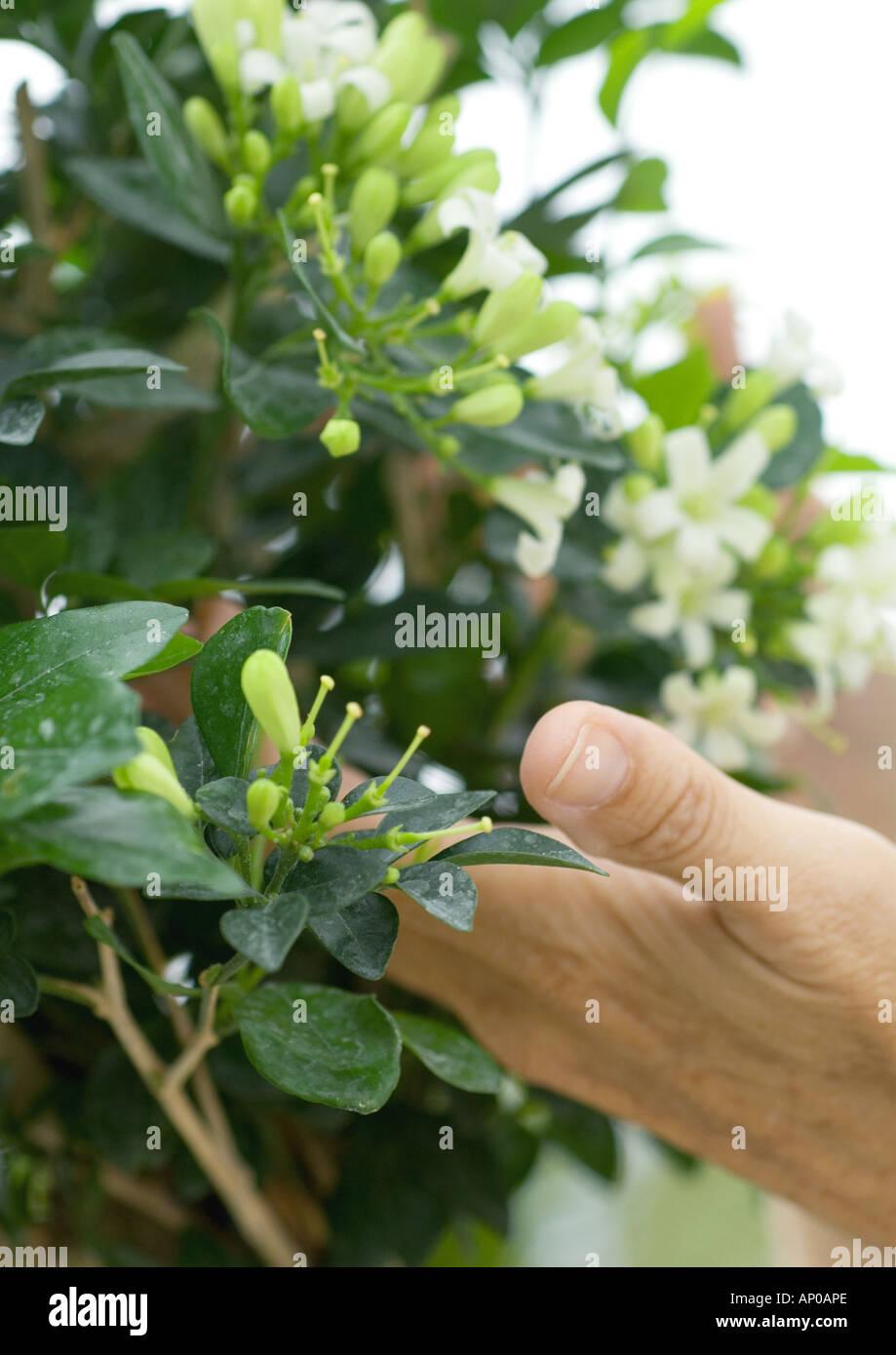 Hand touching jasmine plant - Stock Image