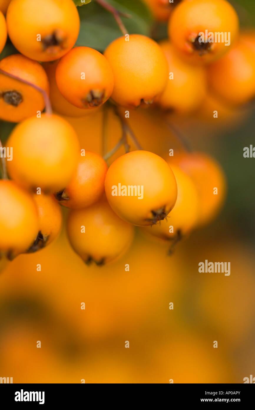 Orange berries 'Pyracantha Saphyr Orange syn Cadange' in close up detail - Stock Image