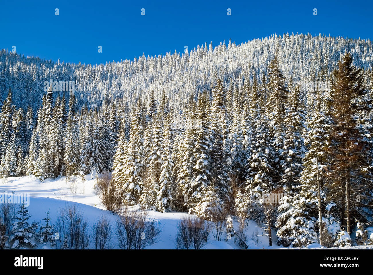 snow covered boreal forest in laurentides park quebec stock photo
