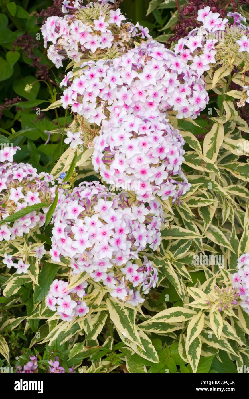 Phlox paniculata norah leigh variegated foliage garden perennial phlox paniculata norah leigh variegated foliage garden perennial in bloom fragrant flowers mightylinksfo