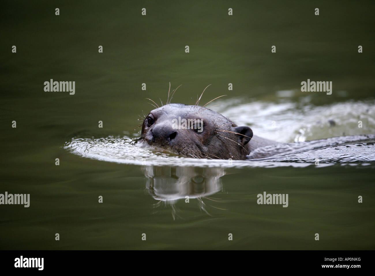 Giant Otter swimming - Stock Image