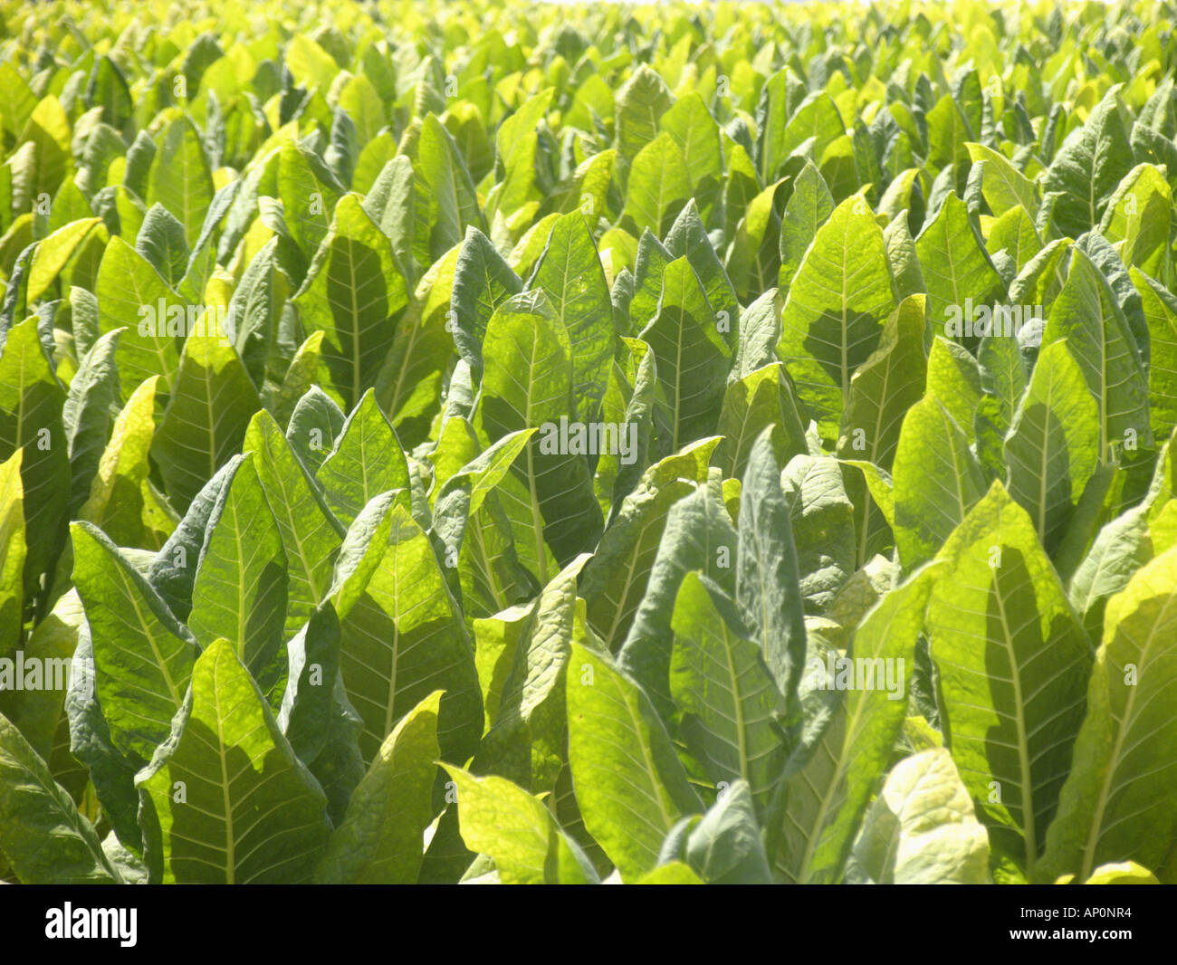 Tobacco field in Lancaster County PA - Stock Image