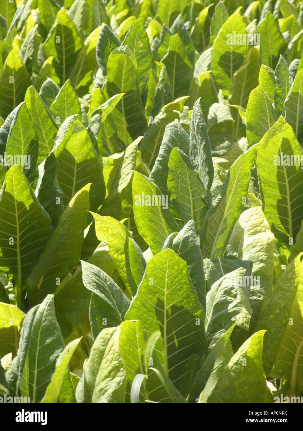 tobacco field near Bowmansville Pennsylvania - Stock Image