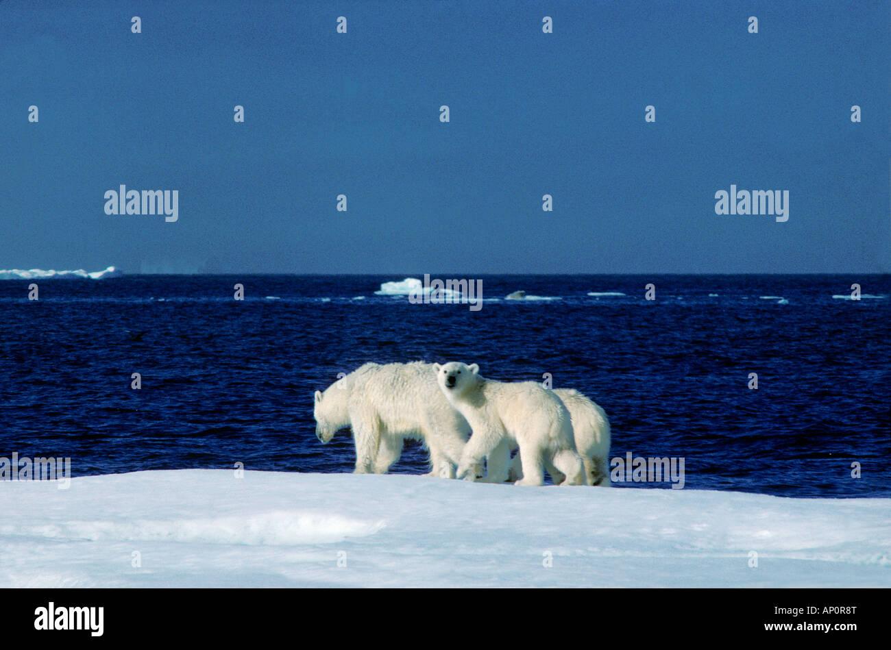 Polar Bear Ursus maritimus Thalarctos maritimus ile wrangel russie Arctic Arktis Baeren Canoidea Carnivora Eisbaeren - Stock Image