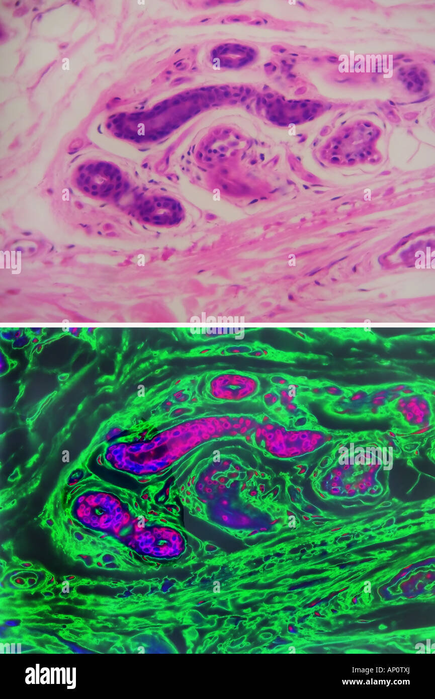 Comparative high power histological views of a sweat gland - Stock Image