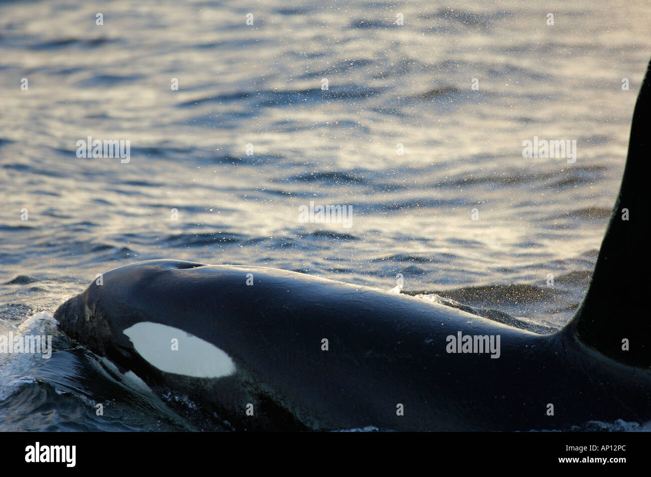 Male Orca or Killer whale (Orcinus orca) surfacing to breathe. - Stock Image