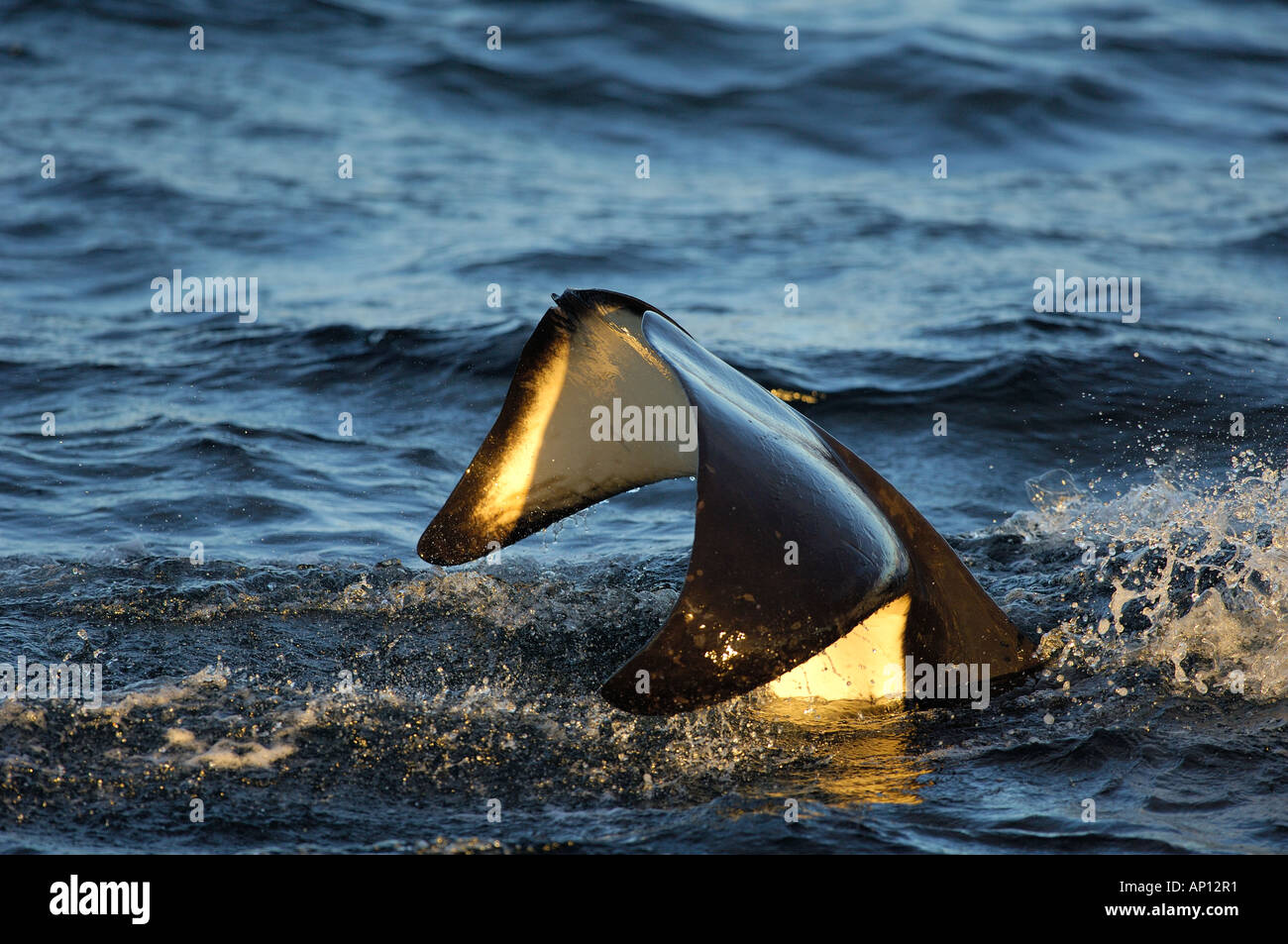 Orca or Killer whale (Orcinus orca) tail slapping - Stock Image
