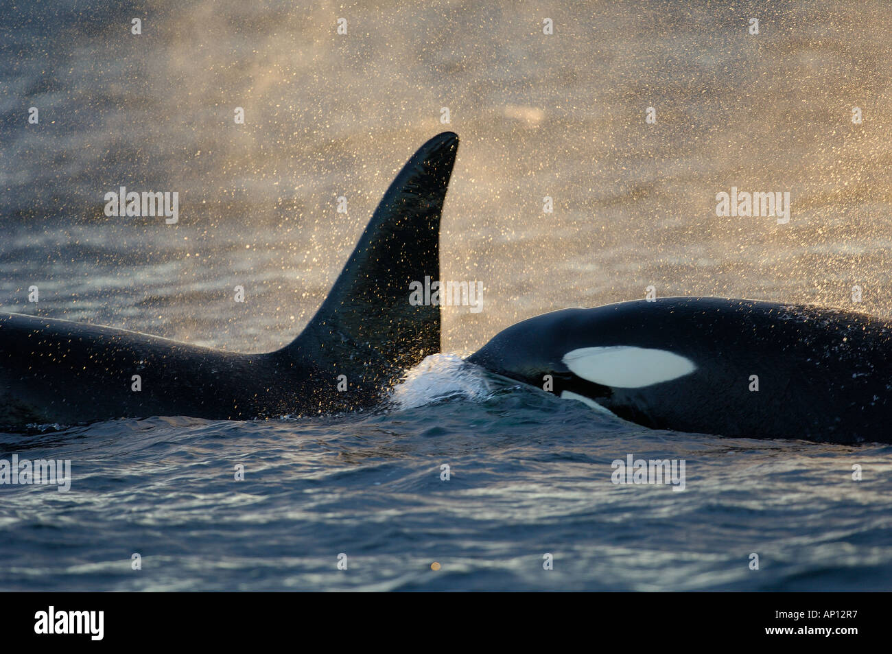 Orcas or Killer whales (Orcinus orca) live in groups called pods - Stock Image