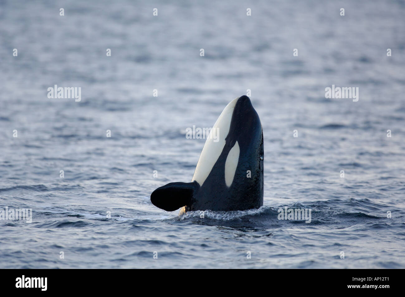 Spyhopping Orca or Killer whale (Orcinus orca) - Stock Image