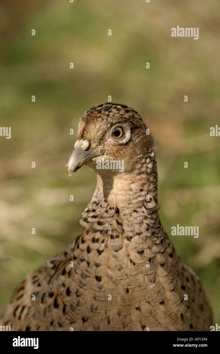 Female Pheasant - Stock Image