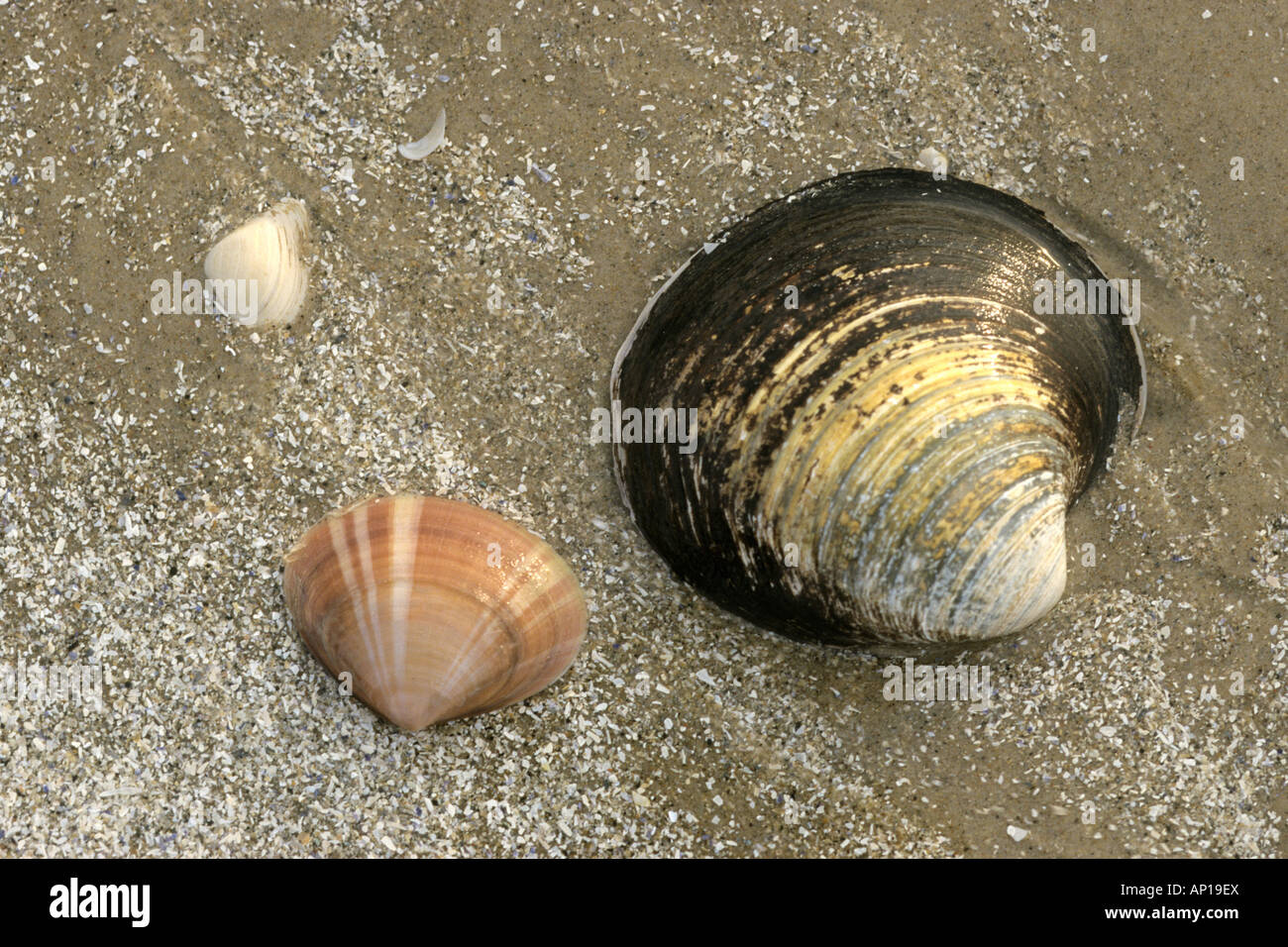 Rayed Trough Clam and Ocean Quahog, Iceland Cypria, Icelandic Cyprine, shells on the beach - Stock Image