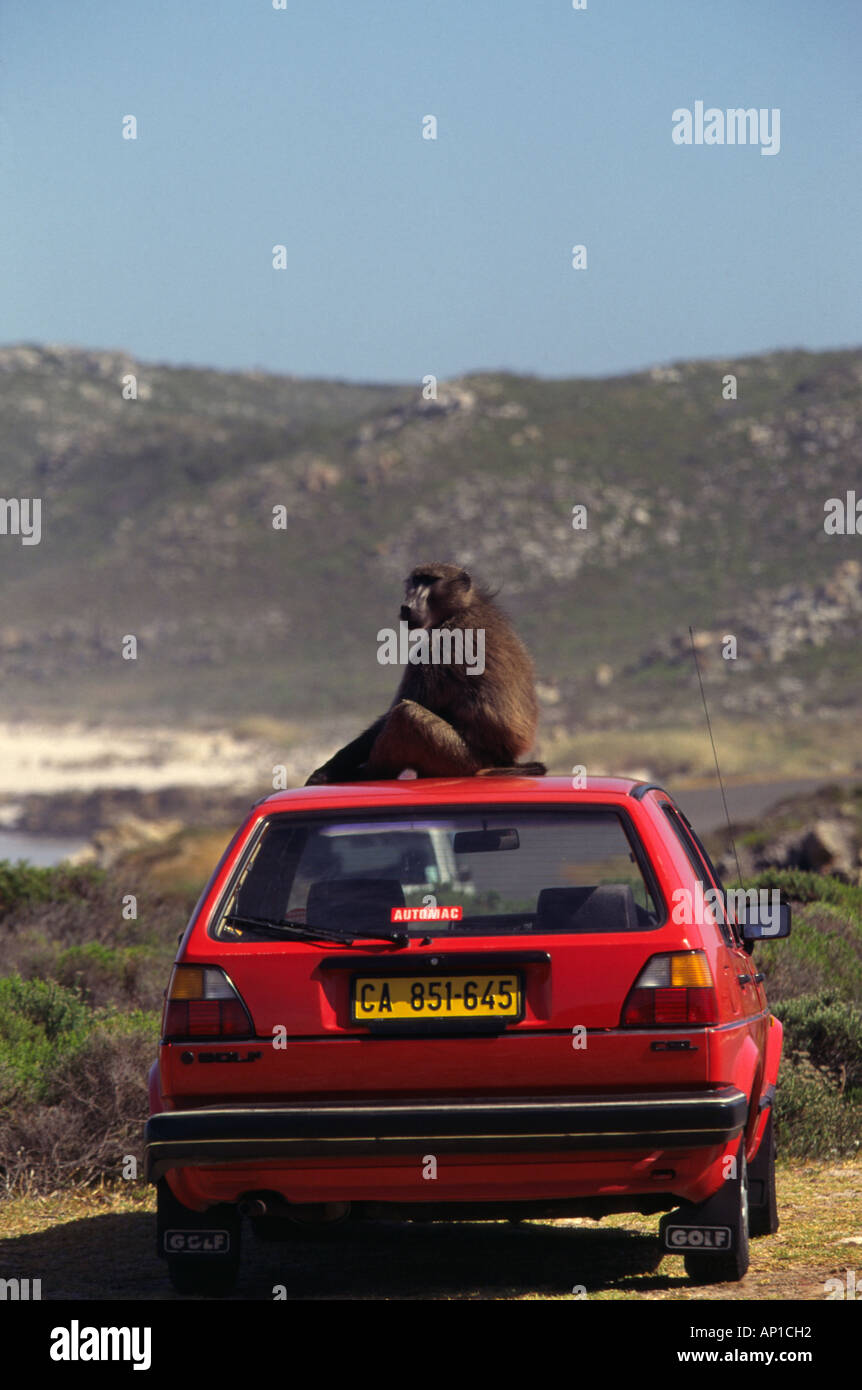 Chacma Baboon Papio Ursinus sits on the top of the car Cape Of Good Hope Nature Reserve Western Cape South Africa - Stock Image