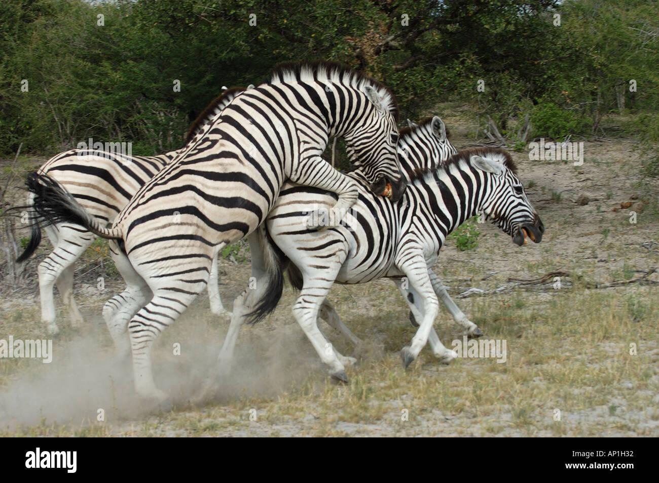 Zebras mating - photo#48