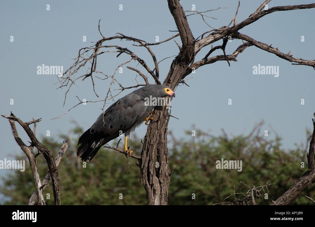 Gymnogene or African Harrier Hawk Polyboroides typus searching crevices for food Etosha Namibia - Stock Image