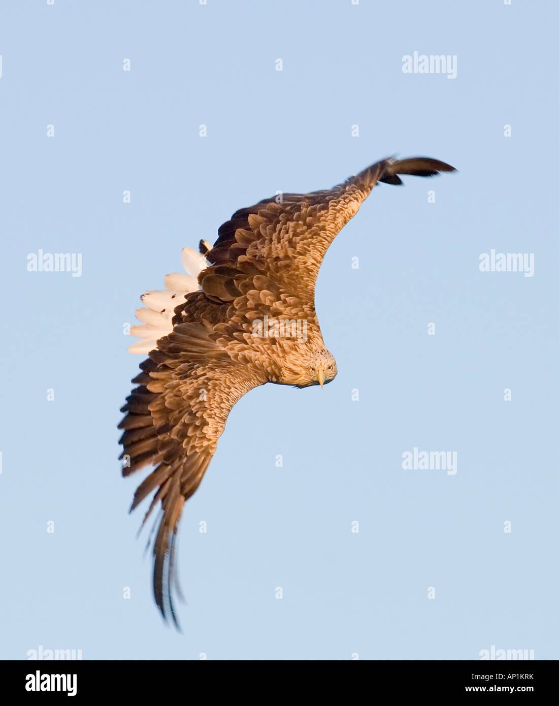 White tailed Eagle Sea Eagle Haliaeetus albicilla about to snatch fish from sea Flatanger Norway July - Stock Image