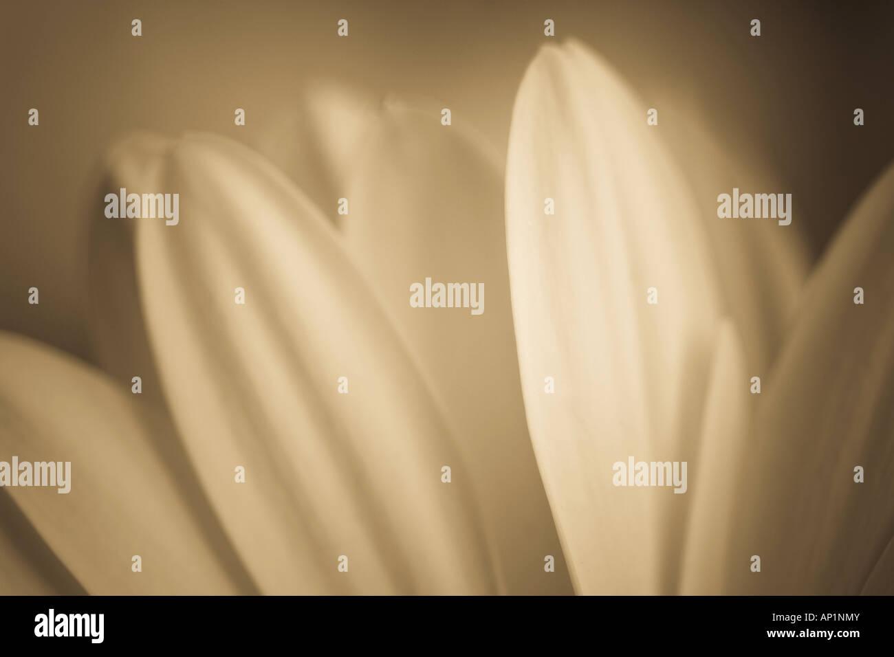 Flower petals in sepia tones - Stock Image