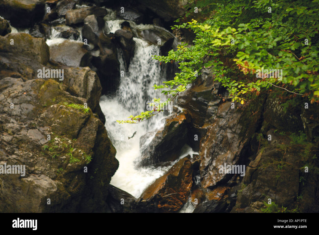 Salmon Leaping Up Black Linn Falls On The River Braan The Hermitage Dunkeld Perthshire Scotland UK - Stock Image