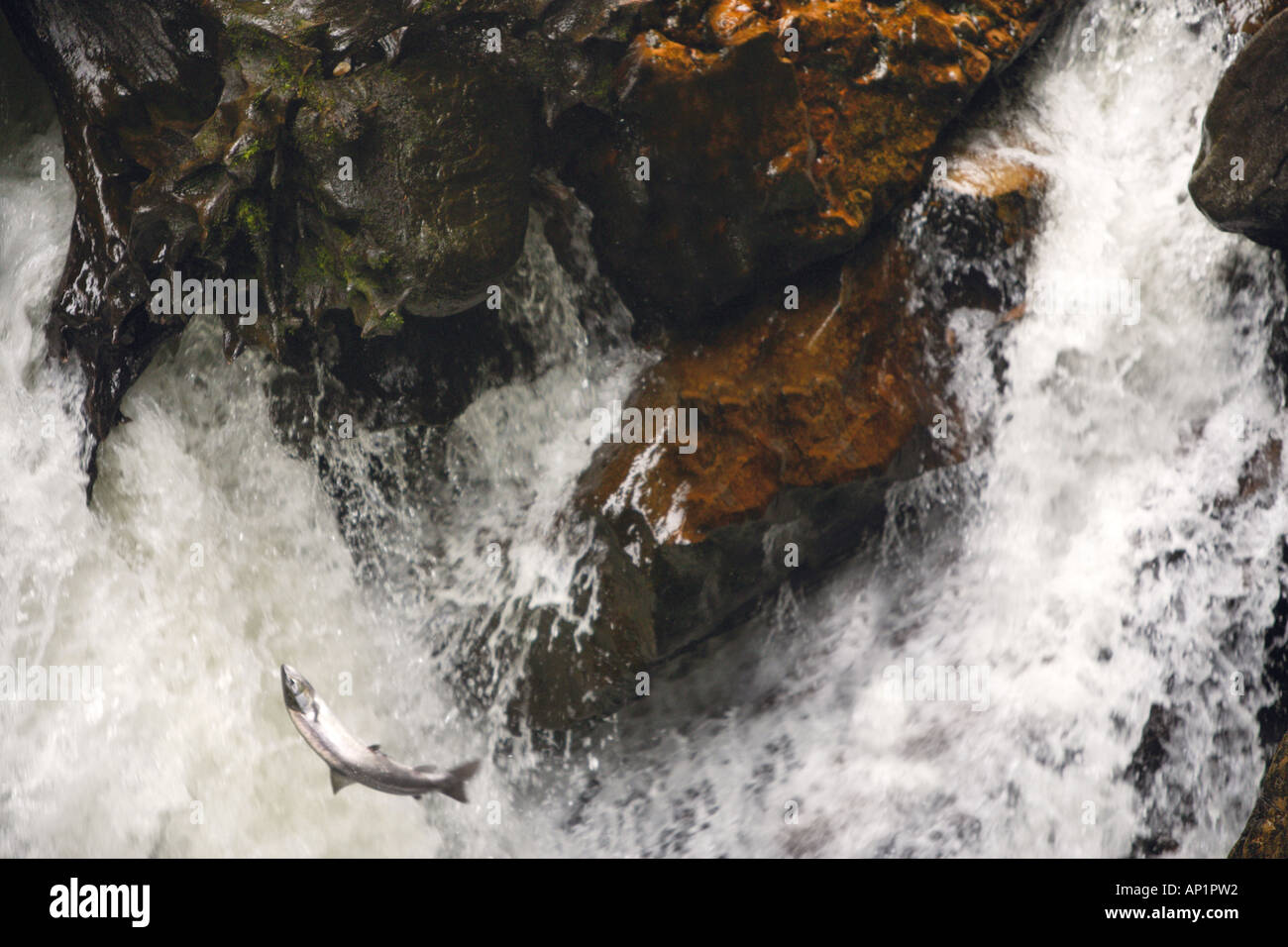 Salmon Leaping In The Black Linn Falls On The River Braan The Hermitage Dunkeld Perthshire Scotland UK - Stock Image