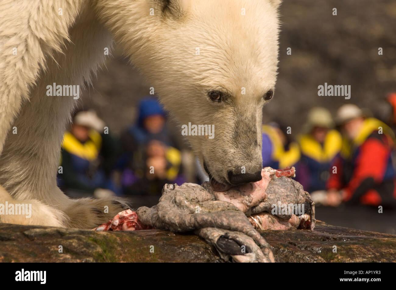 Polar Bear feeding on a seal carcass Labrador Canada - Stock Image