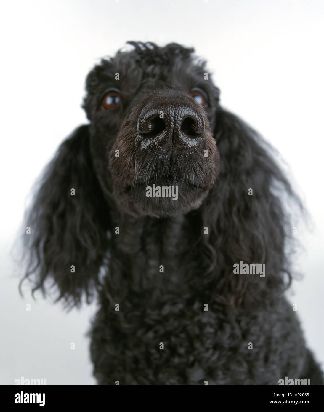 black poodle - Stock Image